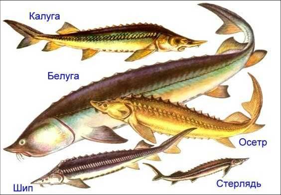 Костные рыбы - Википедия Костные рыбы (лат.