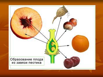Урок 17.  Двойное оплодотворение у цветковых растений.  Ход урока: Организационный момент.