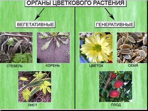 Презентация по биологии - Корень, его строение - Видоизменение корней - 6 класс