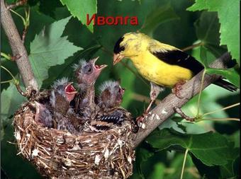 Презентация по биологии - Отряды птиц: воробьинообразные и голенастые