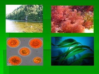 Презентация по биологии - Водоросли и их значение