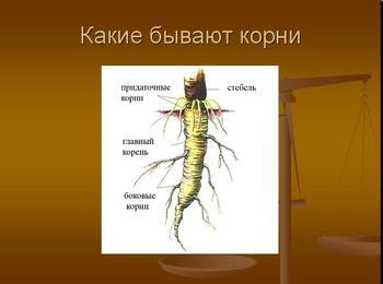 Презентация по биологии - Внешнее и внутреннее строение корня
