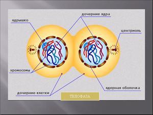 Презентация по биологии - Деление клетки - Митоз - 6 класс