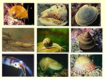 Презентация по биологии - Общая характеристика типа Моллюски