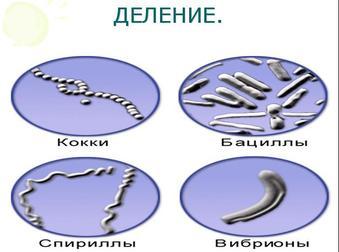 Презентация по биологии - Бесполое размножение