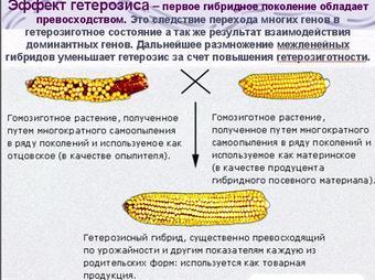 Презентация по биологии - Селекция растений