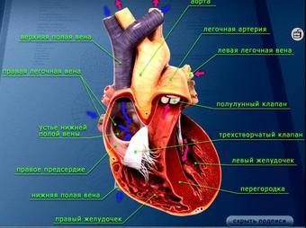 Презентация по биологии - Строение сердца человека