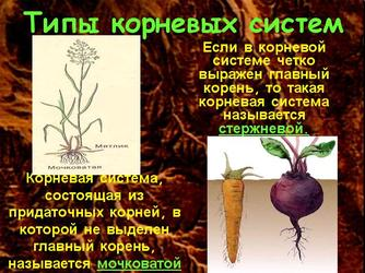 Презентация по биологии - Виды корней и типы корневых систем