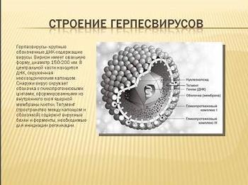 Презентация по биологии - ВЭБ-инфекция - Характеристика Герпесвирусов человека - Семейство Herpesviridae
