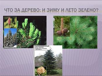 Презентация по биологии - Отдел Голосеменные растения