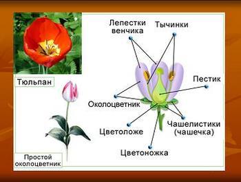 Презентация по биологии - Размножение покрытосеменных