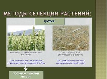 Презентация по биологии - Методы селекции растений