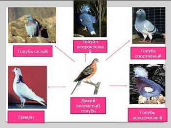 Презентация по биологии - Учение Ч.Дарвина об искусственном отборе - 11 класс