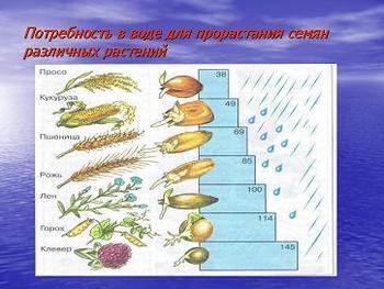 Презентация по биологии, условия прорастания семян и значение зародыша семени