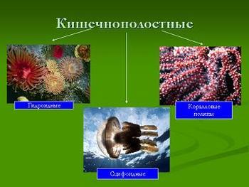 Презентация по биологии - Кишечнополостные