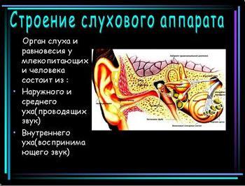 Презентация по биологии - Слуховой анализатор