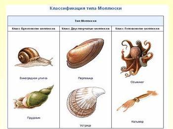 Презентация - Общая характеристика типа Моллюски