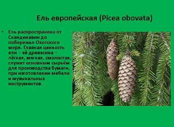 Презентация - Многообразие голосеменных растений