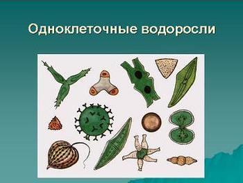 Презентация - Водоросли