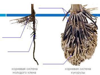 Презентация - Корень, его строение - Видоизменения корней
