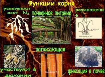 Презентация - Виды корней и типы корневых систем
