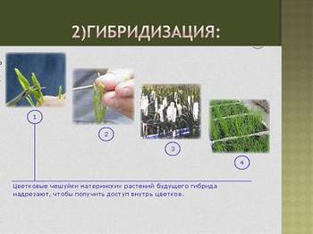 Презентация - Методы селекции растений