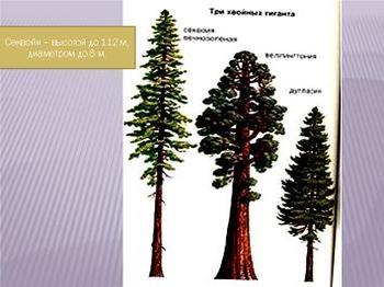 Презентация - Отдел Голосеменные растения
