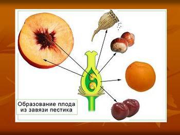 Презентация - Размножение покрытосеменных